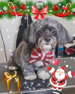 animal salut lazos navidad veterinario peluqueria (7)