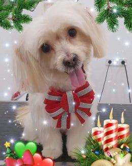 animal salut peluqueria veterinario navidad lazos (5)